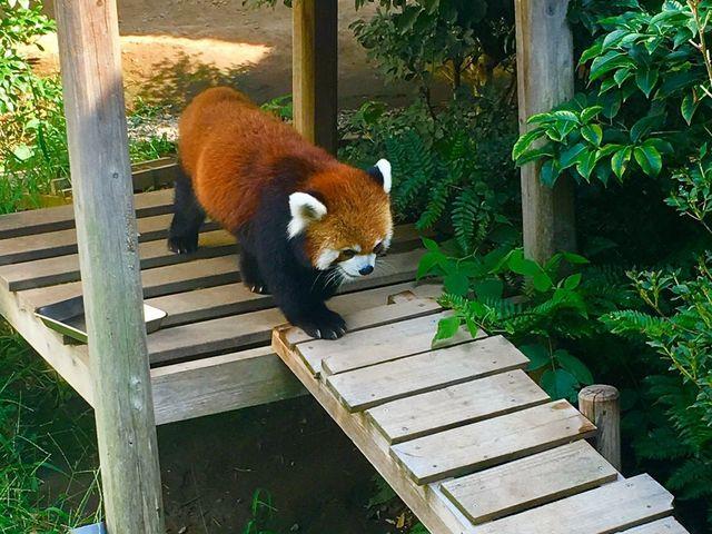 レッサーパンダ_浜松市動物園