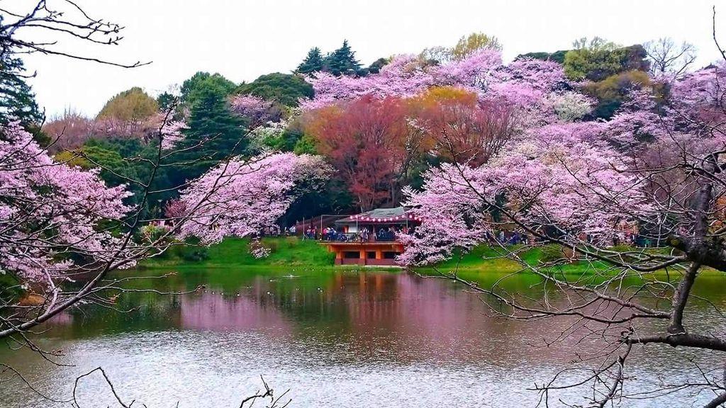 三ツ池公園の桜