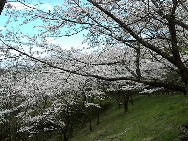 春は桜が美しいです_大阪府立近つ飛鳥博物館