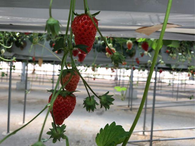 赤く熟したイチゴ_新井ファームはっぴーいちご園