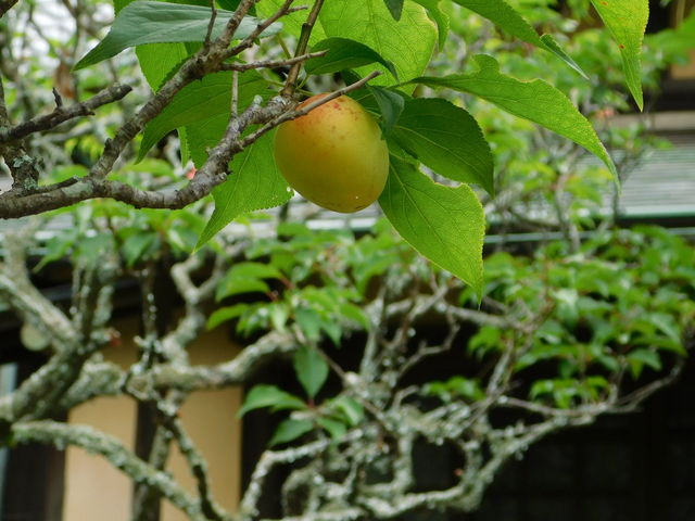 徳川家光公の植えた梅の木 かも 古文書が残っているがどの木かわからないとお寺の方より_英勝寺