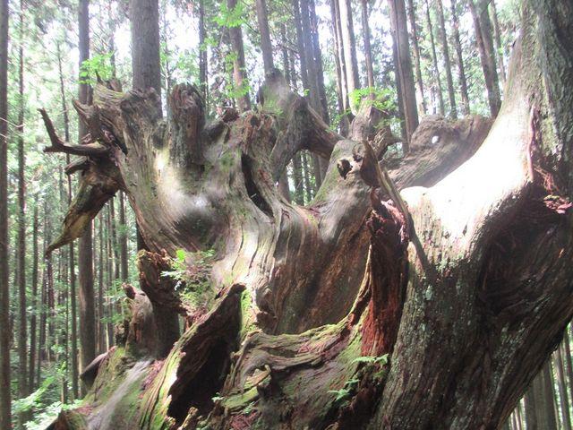 たかが老木されど老木一本、一本それぞれにに歳月の経過を思わせる_株杉