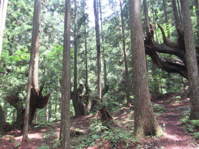 一部は朽ち果てた老木があちこちにある_株杉