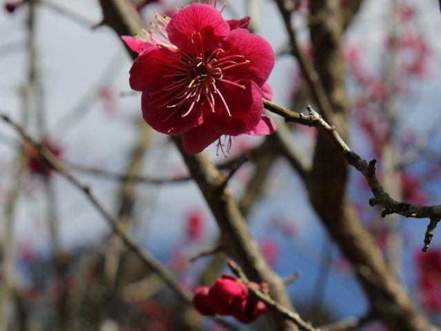 梅が咲いていました。_藤の寺(正法寺)