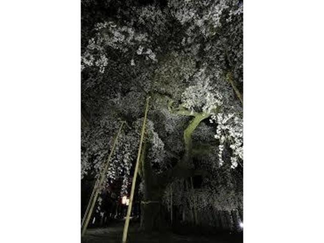 ライトアップと桜のコラボ!_諏訪神社