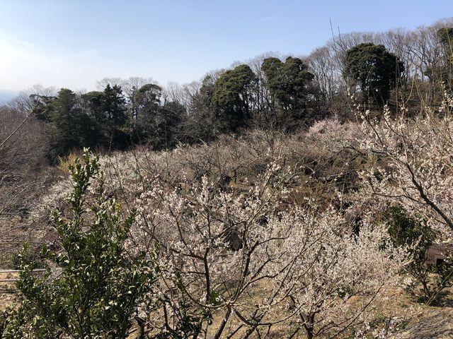 梅_筑波山梅林の梅