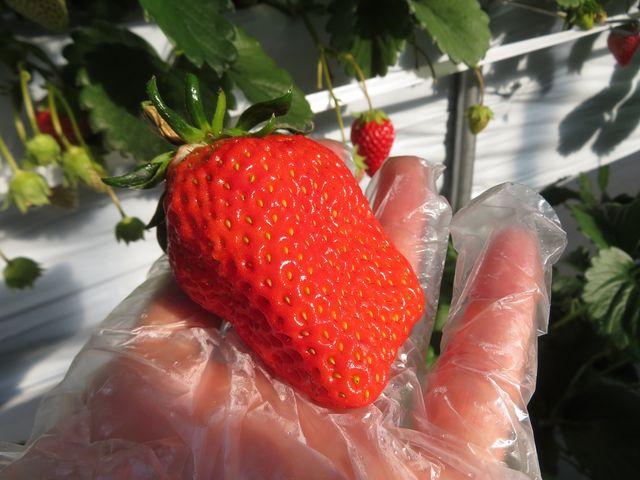 こんな大きなイチゴは食べたことない!と大満足でした。 _井上寅雄農園