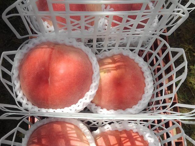 用意してもらったかごに収まらない大きい桃に満足! 固めで甘かったです。_金原園