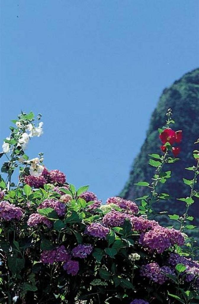 サン・ビレッジ曽爾の紫陽花