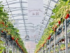 Strawberry Farm No.15 (the Farm UNIVERSAL いちご園)の写真1