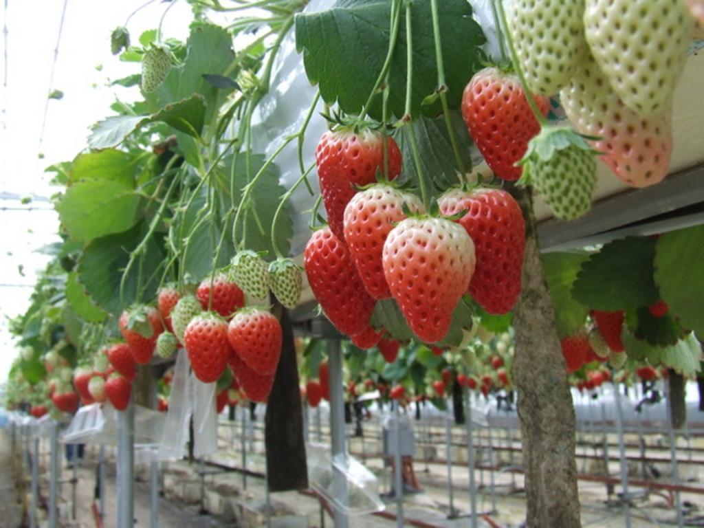「アグリ 農業 イチゴ イメージ画像 フリー」の画像検索結果