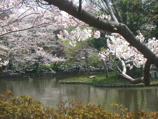 桜の季節もきれいです_鶴岡八幡宮