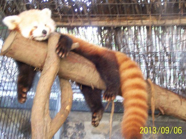 レッサーパンダかわいかったです。_熱川バナナワニ園