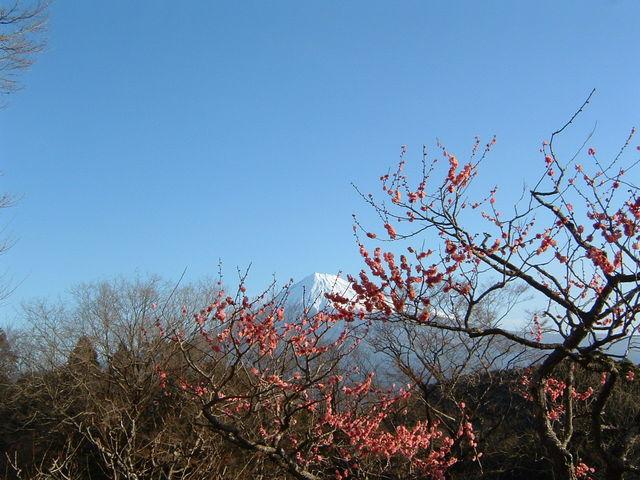 岩本山公園梅花と富士山。_岩本山公園