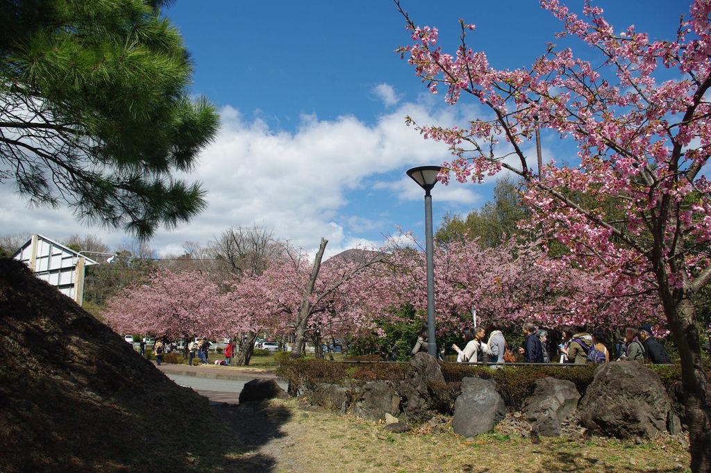 伊豆高原の桜並木 【静岡県】