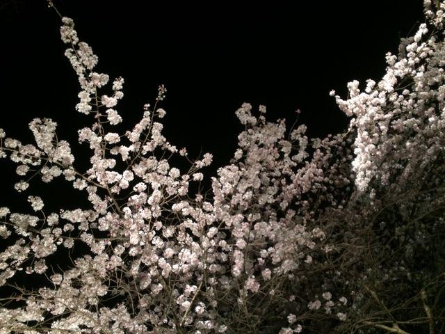 桜のライトアップ_福岡城跡