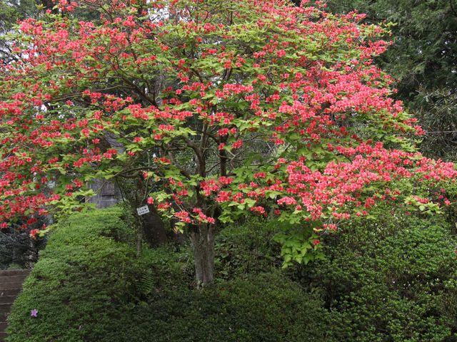 オンツツジの大木もキレイです_帰全山公園と野中兼山公銅像
