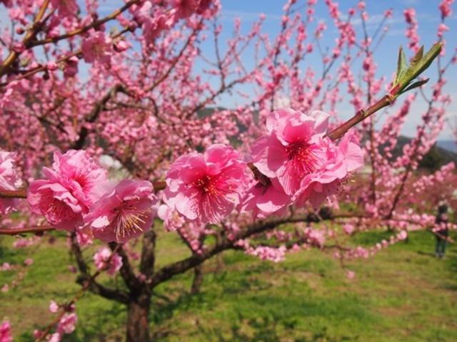 ピンクにも微妙な違いがあり、たくさんの木々が可愛くていとおしい限りです。_飯坂温泉花ももの里
