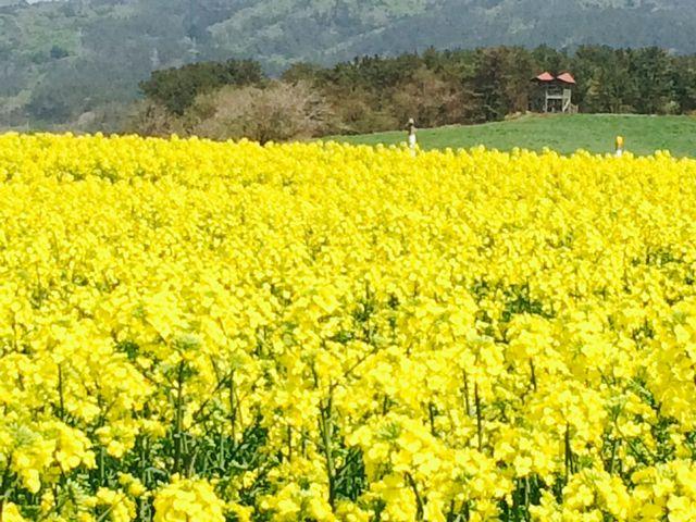 もう満開でした。_横浜町 菜の花畑