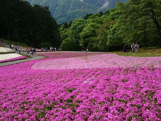 芝桜&武甲山2_羊山公園の芝桜