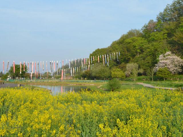 道の駅を利用し、ここも散歩しました。5月の風に鯉のぼりが泳いでいますし、菜の花畑も綺麗でした。_まほろば古の里歴史公園