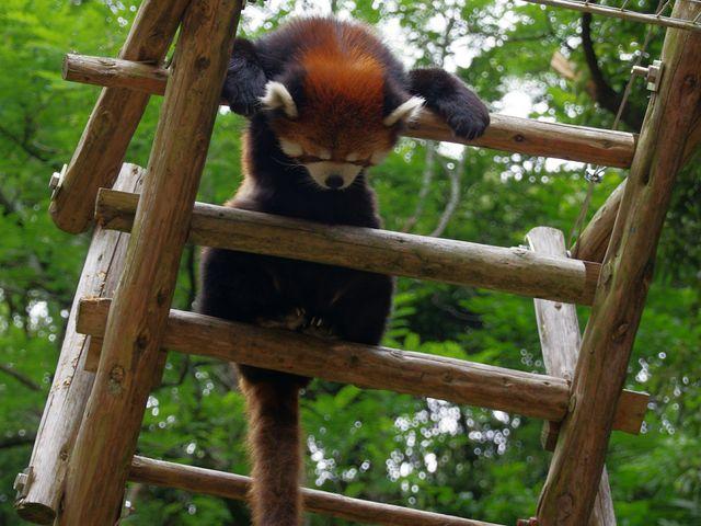 展示もいろいろ、レッサーパンダものんびり_池田動物園