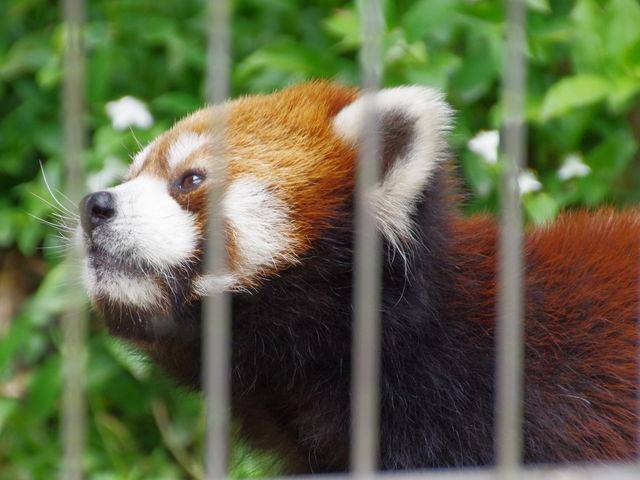 レッサーパンダがおやつの果物を飼育員さんからもらって食べる姿はとてもかわいかったです。_池田動物園