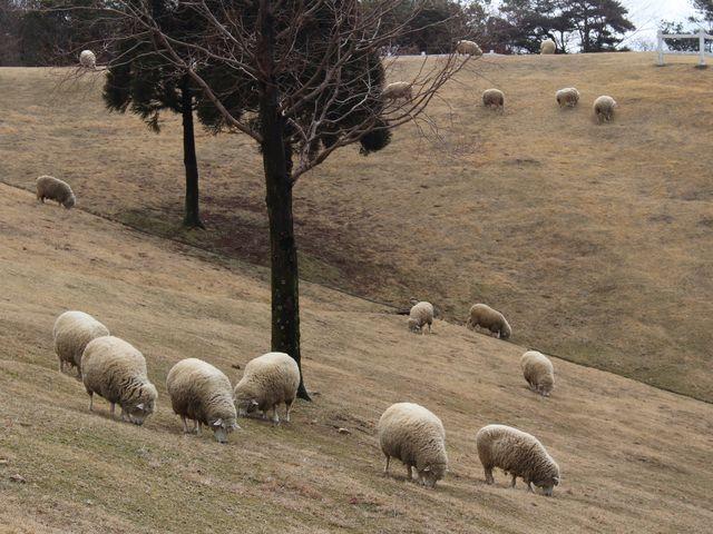 たくさんの羊 _六甲山
