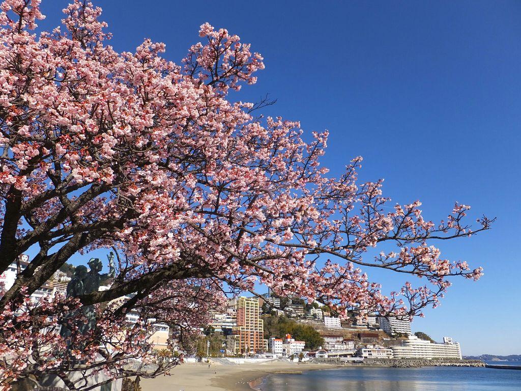 あたみ桜 【静岡県】