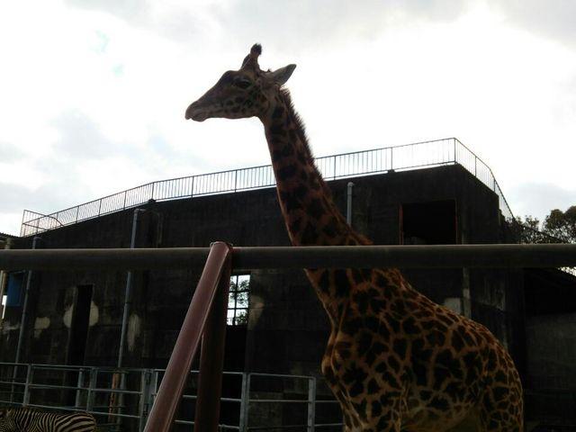 キリンが近くに来てくれ子供が喜んでいました_宮崎市フェニックス自然動物園