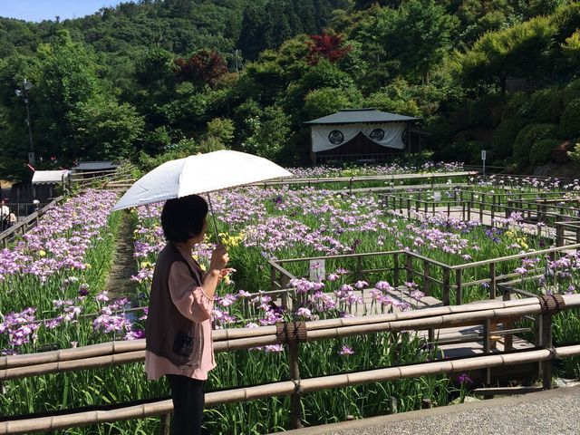 満開の花菖蒲です_大安禅寺