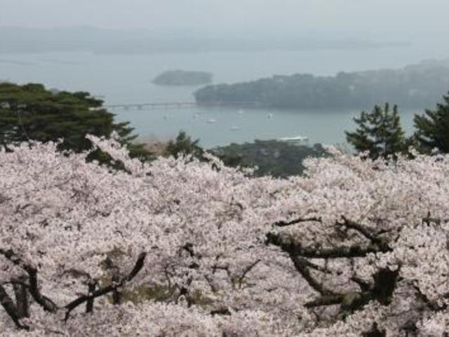 西行戻しの松公園_西行戻しの松公園の桜