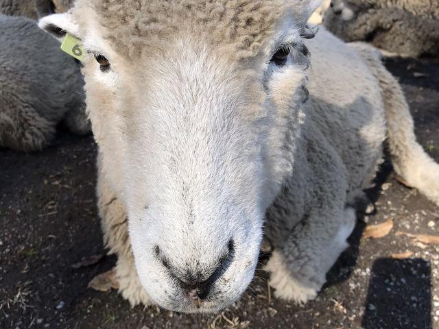 羊の群れにおじゃまします_伊香保グリーン牧場