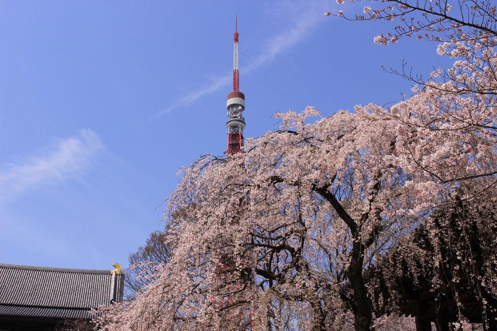 芝公園及び増上寺境内の桜