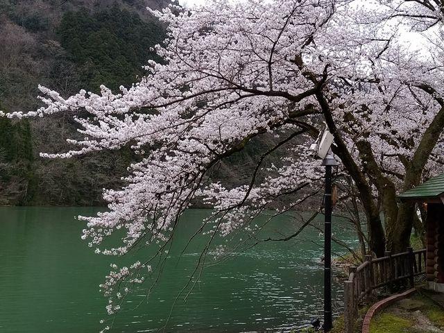 さくら_庄川水記念公園