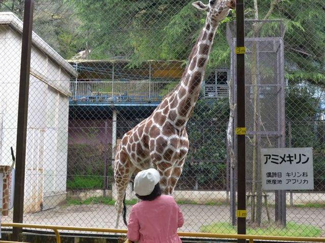 背の高さにびっくり。_池田動物園