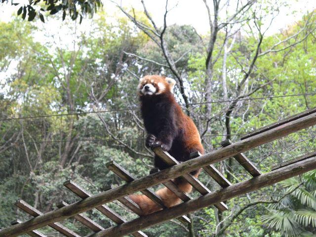 レッサーパンダは頭上にいました。_池田動物園