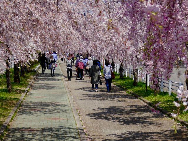喜多方千本桜_日中線しだれ桜並木