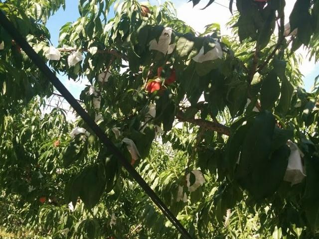 桃食べ放題です_小野洋らん果樹園