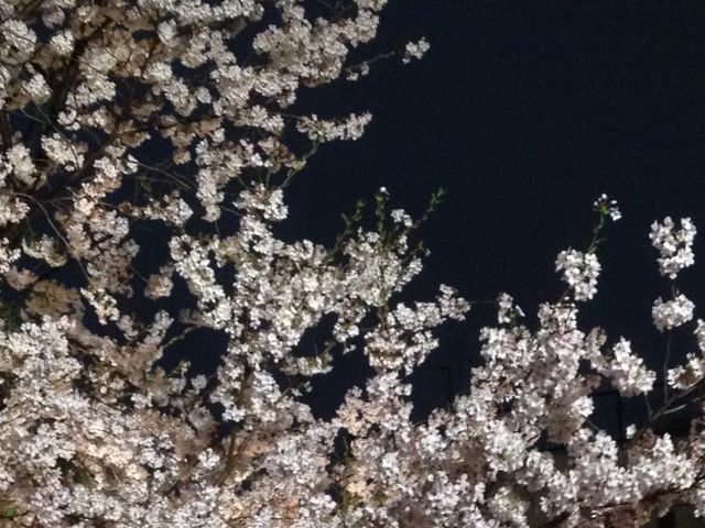 桜_立山公園