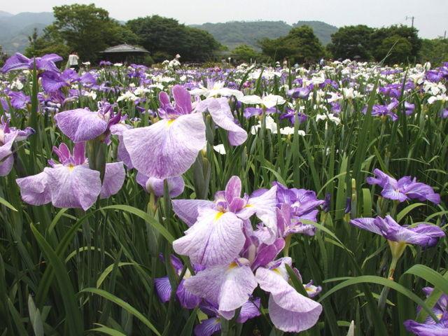 しょうぶ_大和中央公園花しょうぶ園