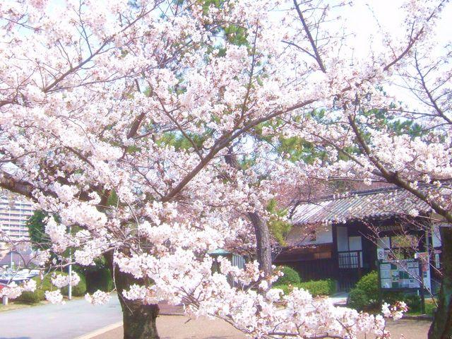 民家集落館前の見事な桜です。_服部緑地