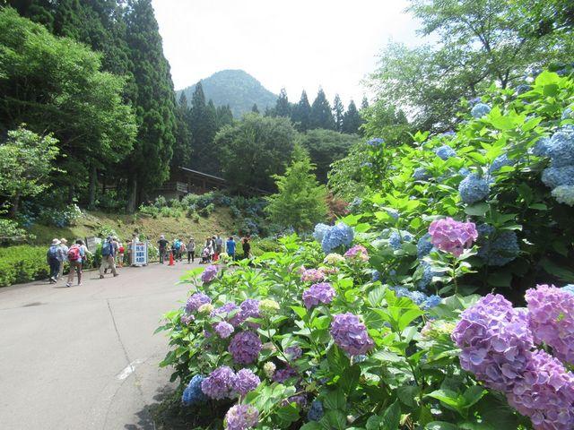 会場の山道の先の山中、林の中に株杉の林がある道中アジサイがいっぱい咲いていた_21世紀の森公園