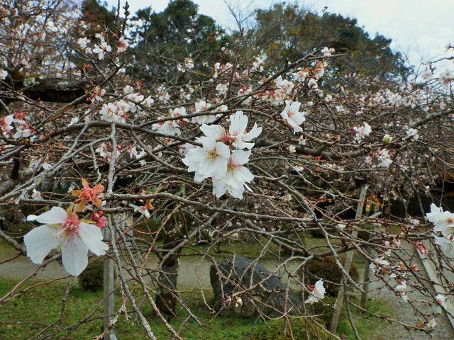 一年に二度咲く桜11月28日映像_玄宮園