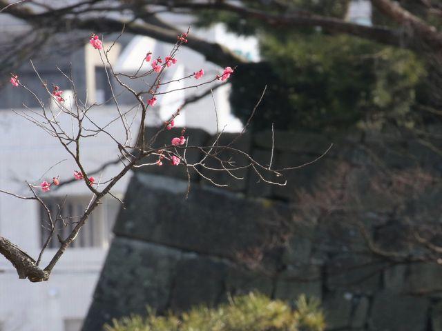 城壁の一角に梅花_福井城址
