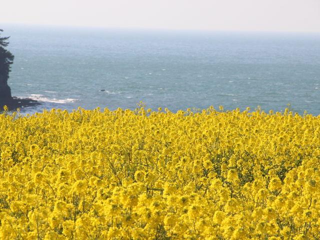 春の菜の花です。_長崎鼻