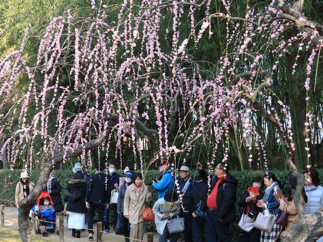 枝垂れ梅が見ごろ_後楽園の梅・桜・ツツジ