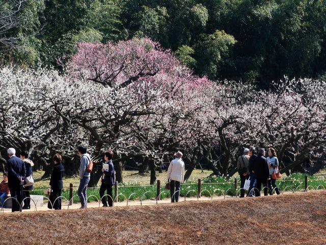 紅白梅が入り乱れている_後楽園の梅・桜・ツツジ