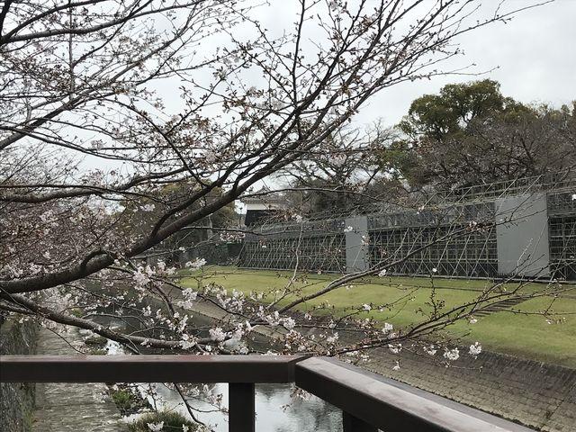 早く修復工事終わるとイイですね_熊本城の桜