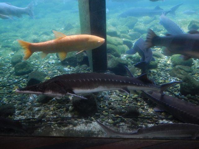 下にいる黒い魚名前はチョウサメ 養殖されています_山梨県立富士湧水の里水族館(森の水族館)